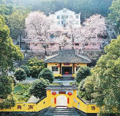 山寺樱花开始盛开了